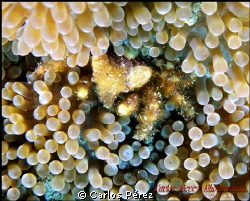 Yellow Anemone Crab...Did you see it?? by Carlos Pérez