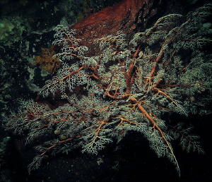 basket star by Chris Krambeck