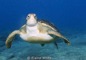 Green Turtle, El Puertito Tenerife Nikon D80, 12-24 lens... by Elaine White