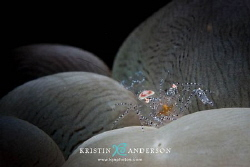Bubble coral shrimp