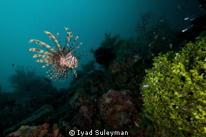 Lionfish by Iyad Suleyman