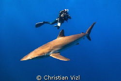 Diver, videographer taking a shot of a Silkie Shark. This... by Christian Vizl