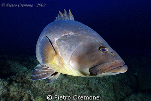 Grouper from Lavezzi by Pietro Cremone