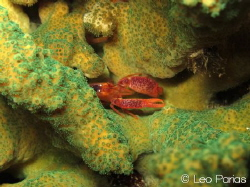 This beautiful snapper shrimp was spotted at a night dive... by Leonardo Parias