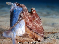 """When size matters"" Hunger Baby Octopus by Carlos Pérez"