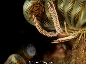 Crinoid squat lobster with Blenny. by Iyad Suleyman