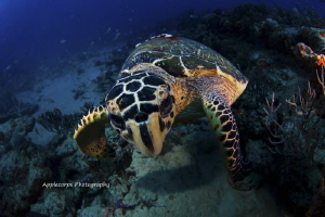 """Hawksbill Turtle Personal Space Issue"" along the reefs o... by Richard Apple"