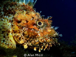 Nice Sized Scorpion Fish by Alan Mizzi