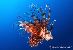 Common Lionfish-Shark Alley-Weda Bay,Halmahera by Richard Goluch