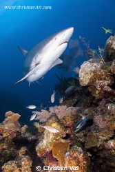Caribbean Reef Shark above a colorful and intact Coral Re... by Christian Vizl