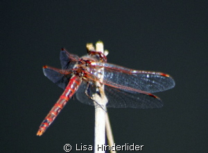 Dragonfly-local Pond- Colorado by Lisa Hinderlider