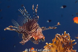 Lionfish on topp of a coral at Ras Mohamed. by Egil Kaplanski