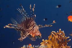 Lionfish on topp of a coral at Ras Mohamed. by Egil Kaplanski