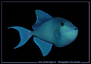 A blue triggerfish... by Michel Lonfat