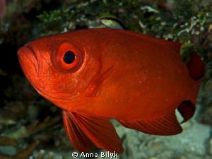 Ride ;-) Big Eye Fish & Cleaner Wrasse by Anna Bilyk