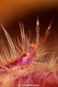 Eye of hair squat lobster Canon 60D, 100 mm macro lens, ... by Iyad Suleyman