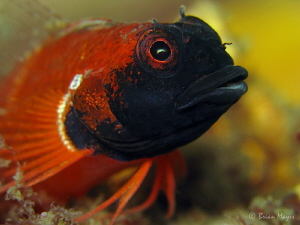 Male Ring Scale Triplefin (Enneapterygius atrogulare) by Brian Mayes