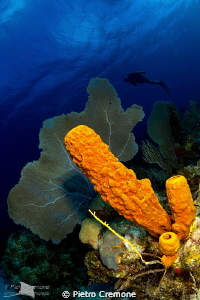 Seafan and sponges by Pietro Cremone