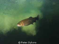 Salmo trutta by Peter Sykora