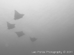 School of Eagle rays, shot in 2010 at Playas del Coco in ... by Leonardo Parias