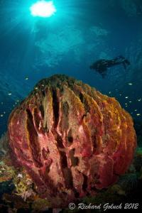 Giant Barrel Sponge II-Weda Bay-Halmahera by Richard Goluch