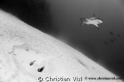 Stingray hidden in the sand and Caribbean Reef Shark swim... by Christian Vizl