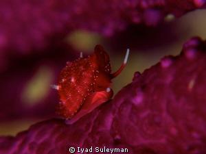 Baby Cowrie by Iyad Suleyman