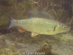 Leuciscus leuciscus by Peter Sykora