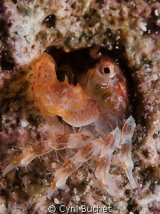 small coral crab. 60 mm +5 diopter, F/14, 1/125s by Cyril Buchet
