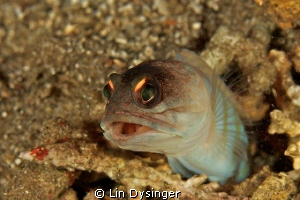 Jaw fish with an attitude by Lin Dysinger