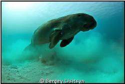 Sea cow. by Sergey Lisitsyn