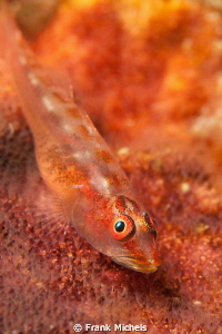 Smal Goby ( max 1 cm) ,this Shy Guy was sitting under an ... by Frank Michels