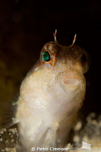 Timid blenny by Pietro Cremone