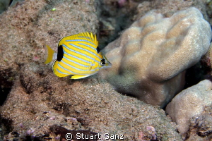 Juvenile bluestripe butterfly fish by Stuart Ganz