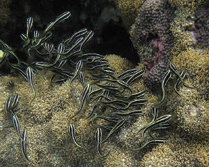 Juvenile eel catfishes 