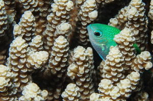 Damsel fish hiding in acropora by Fabrice Leroy