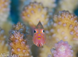 Arc-eye Hawkfish.Nikon D80,105mmVR. by Allen Lee