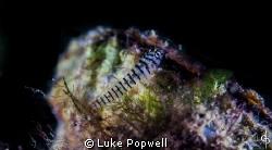 Macro of little transparent fish by Luke Popwell
