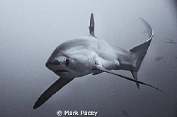 A scrappy looking Thresher Shark of Monad Shoal coming a ... by Mark Pacey