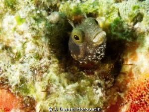 Secretary tube blenny peering out of its wormhole by J. Daniel Horovatin