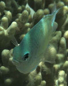 green damselfish by Chris Krambeck