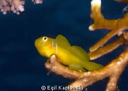 Lemon Goby, if I remembered the right name. Taken North o... by Egil Kaplanski