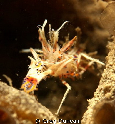 Dragon shrimp sitting on a sponge. by Greg Duncan