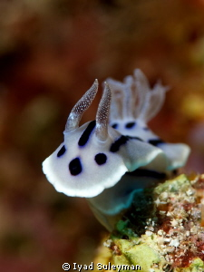 Nudibranch (Chromodoris willani) by Iyad Suleyman