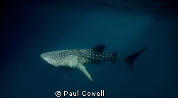 resident whale sharks of Cenderawaish bay. taken in the l... by Paul Cowell
