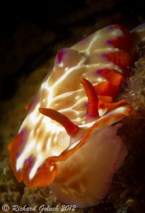 Fish Net Hipselodoris-Lembeh by Richard Goluch