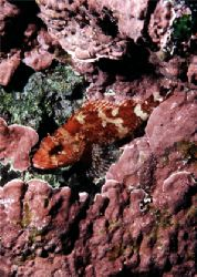 Red Scorpion fish - Gozo - EOS5 + 50MM + SB1O5. by James Garland