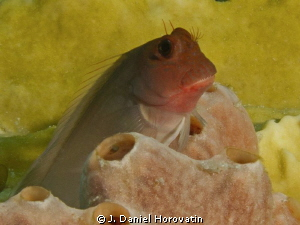 Redlip Blenny by J. Daniel Horovatin