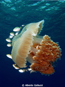 Indopacific jellyfish in Pemuteran, Bali by Alberto Gallucci