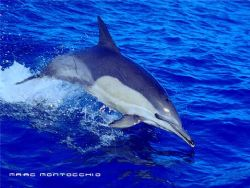 Common Dolphin South Africa by Marc Montocchio